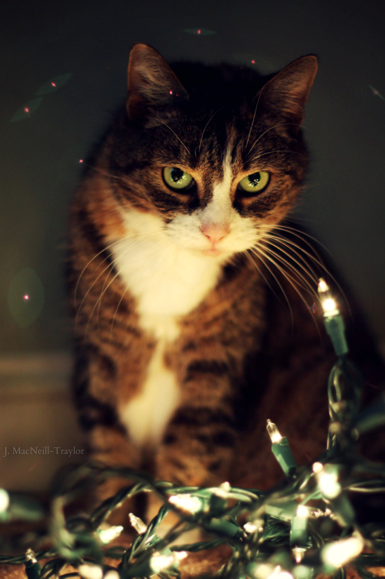 Photograph Cat with Christmas Lights by Jennifer MacNeill Traylor on 500px