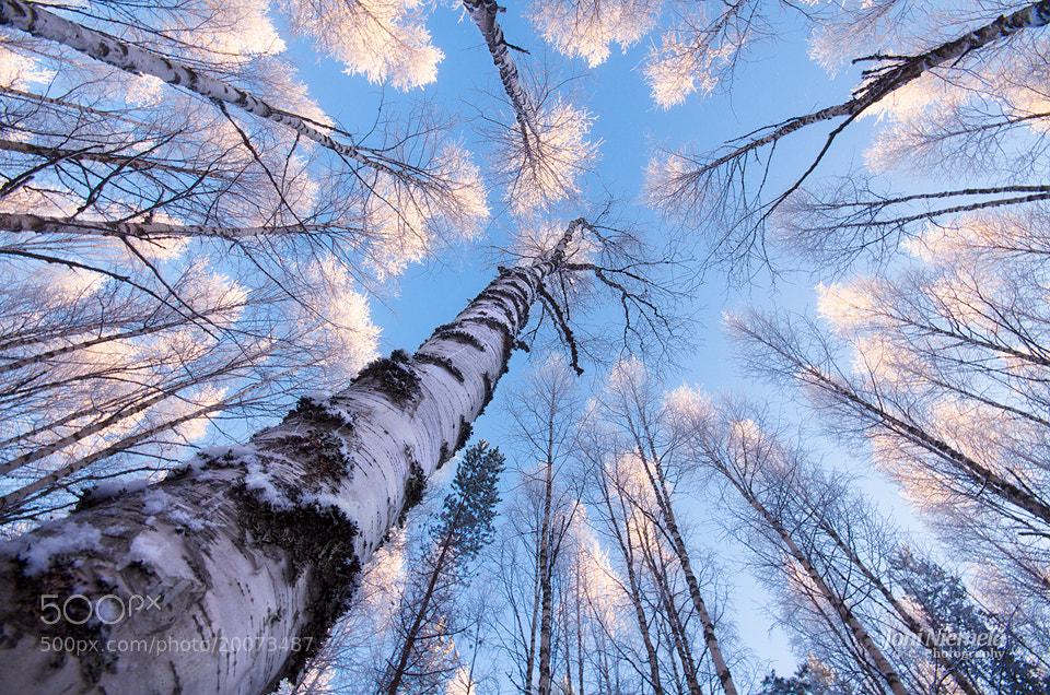 Photograph White Treetops by Joni Niemelä on 500px