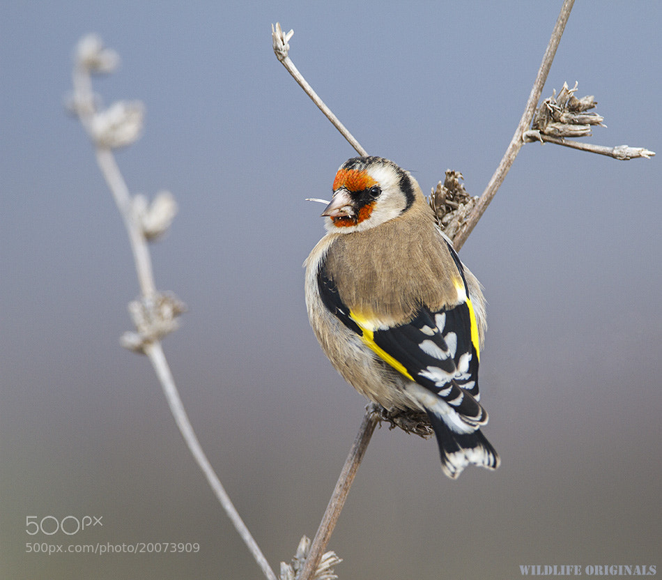 Photograph Carduelis carduelis by Veselin Gramatikov on 500px