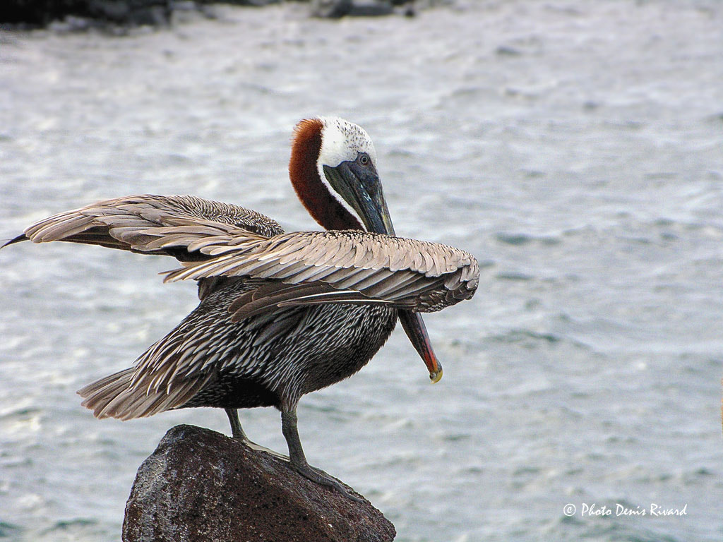 Photograph Brown Pelican by Denis Rivard on 500px