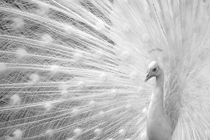 Photograph White peacock by 500px172 on 500px