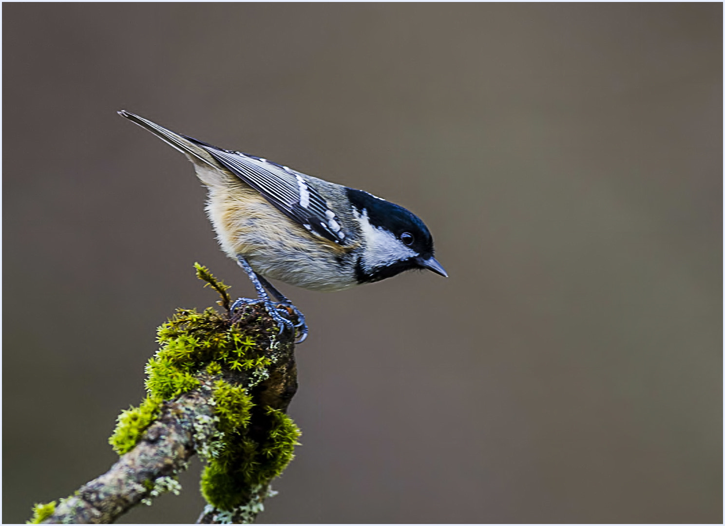 Photograph Coal Tit by allan squires on 500px