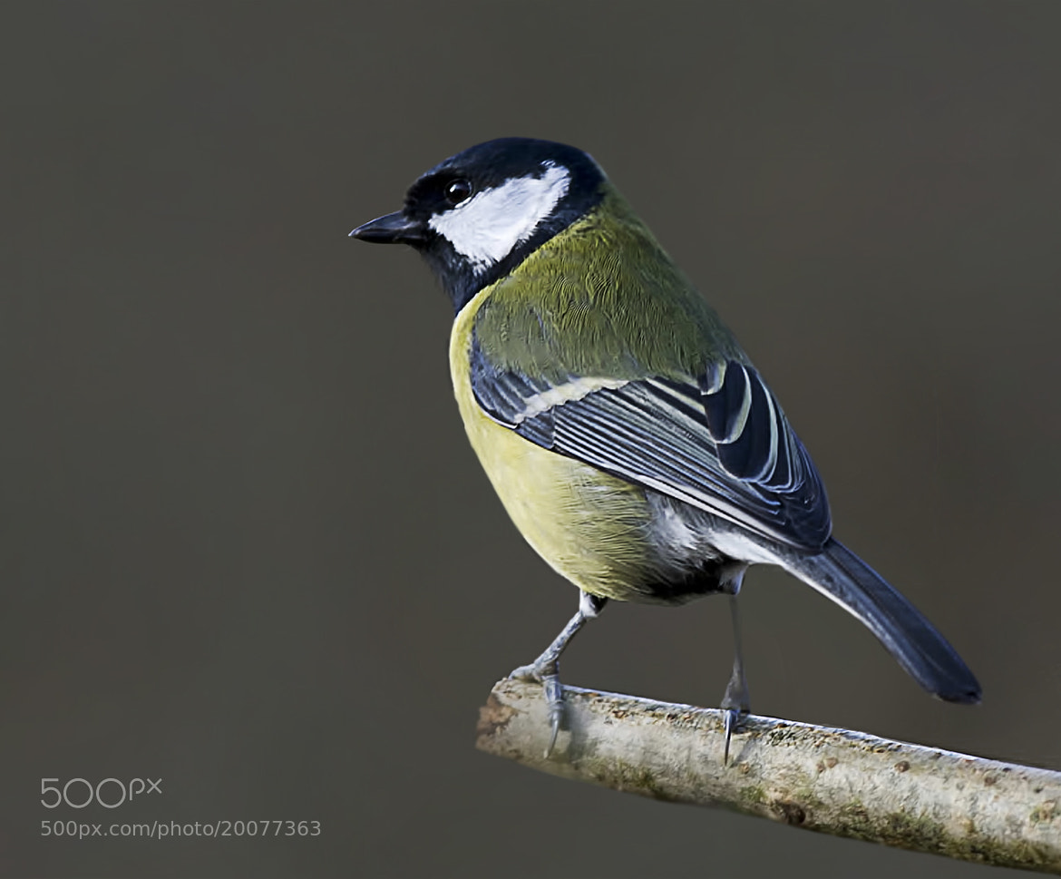 Photograph Great Tit by allan squires on 500px