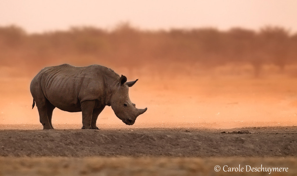 Photograph Last of the rhino's by Carole Deschuymere on 500px