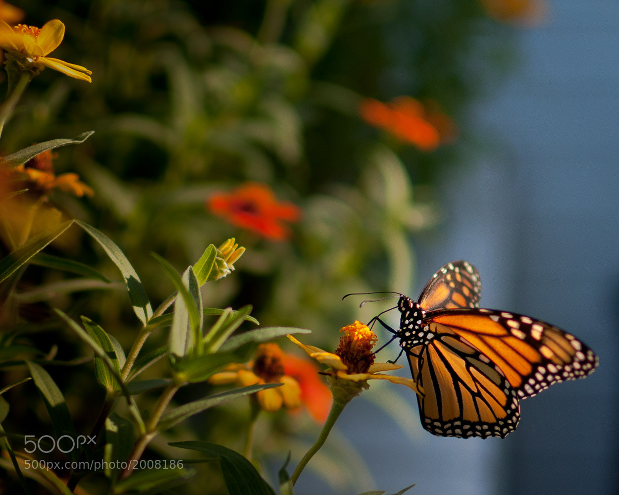 Photograph Monarch by Paul Lamb on 500px