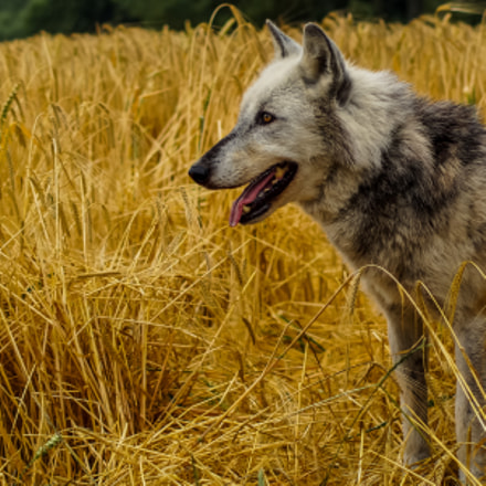 Wolf Walk at the UK Wolf Conservation Trust