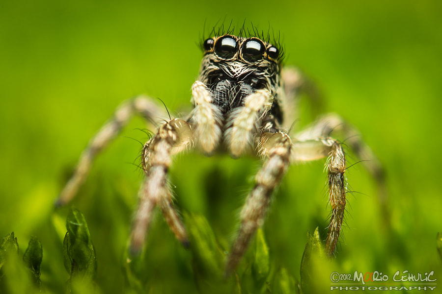 Photograph Salticus scenicus jumping spider photo by Mario Čehulić on 500px
