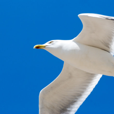 Gull in blue, blue, Nikon D80, Sigma 135-400mm F4.5-5.6 APO Aspherical