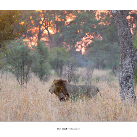 Male lion on morning, Canon EOS-1D MARK IV, Canon EF 70-200mm f/4L IS