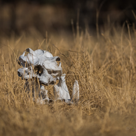 Hippo scull Kafue Zambia, Nikon D810, AF-S VR Nikkor 300mm f/2.8G IF-ED