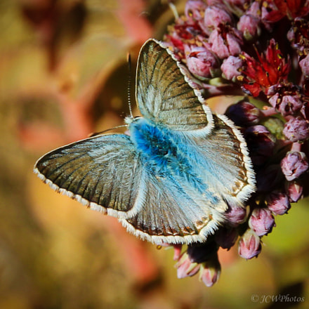 Lisandra coridon / Argus bleu nacré