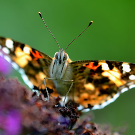 a butterfly called Distelfalter, Nikon D7000, Sigma APO Macro 180mm F3.5 EX DG HSM