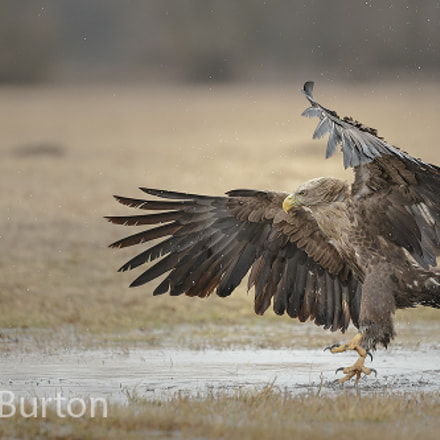 White-tailed eagle landing near, Canon EOS-1D X, Canon EF 200-400mm f/4L IS USM