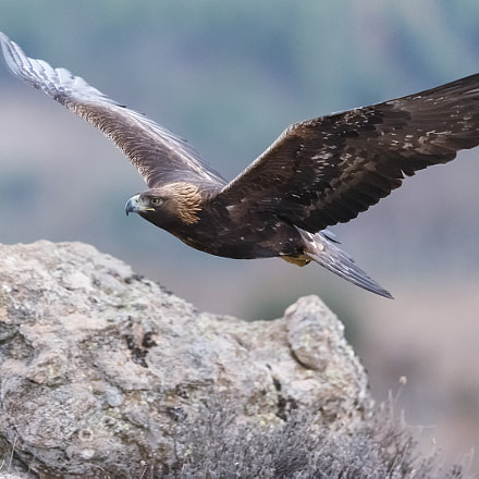 Aquila chrysaetos, Canon EOS-1D X, Canon EF 500mm f/4L IS II USM