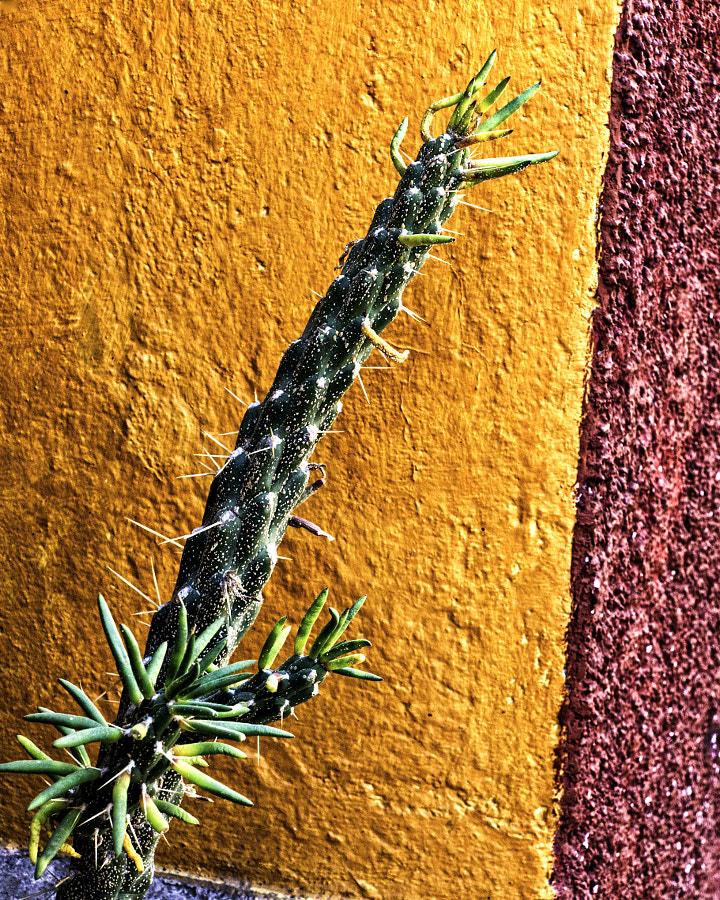 cactus chiquito sma DSC