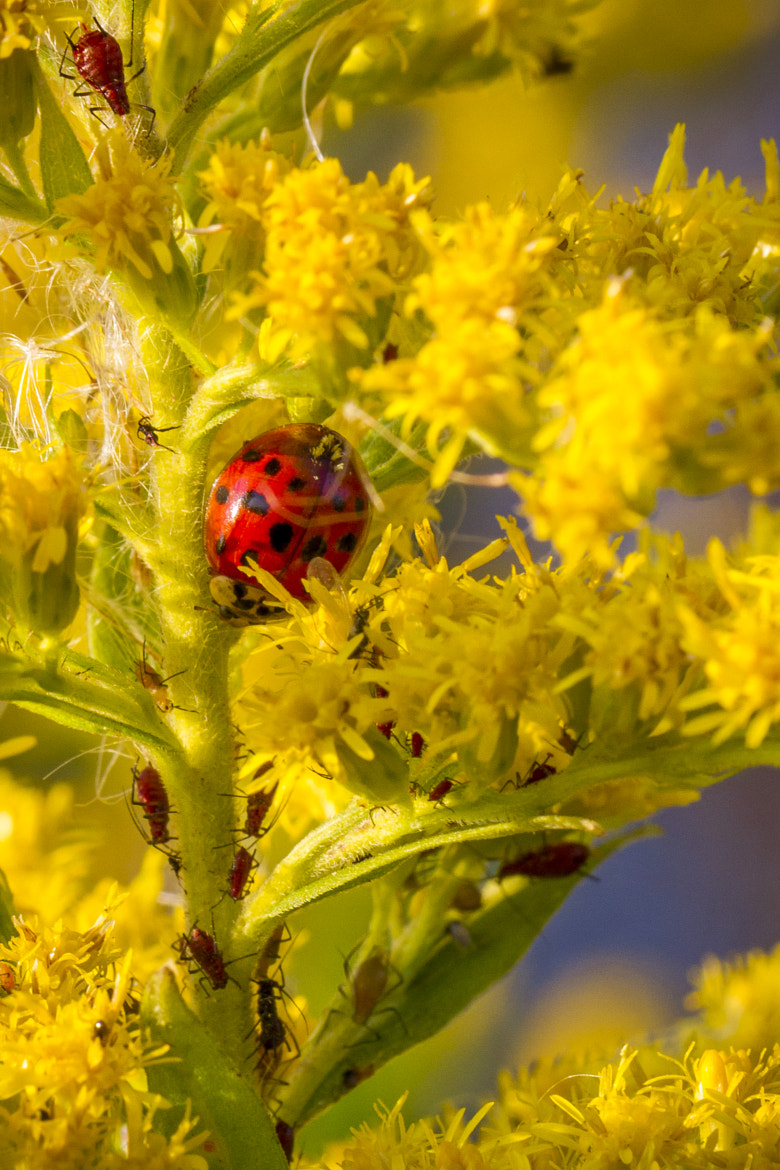 Photograph Ladybug and Aphids by Rob Rauchwerger on 500px