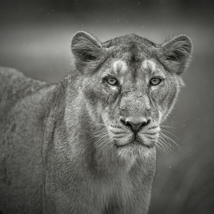 That Stare..., Canon EOS-1D X, Canon EF 500mm f/4L IS II USM