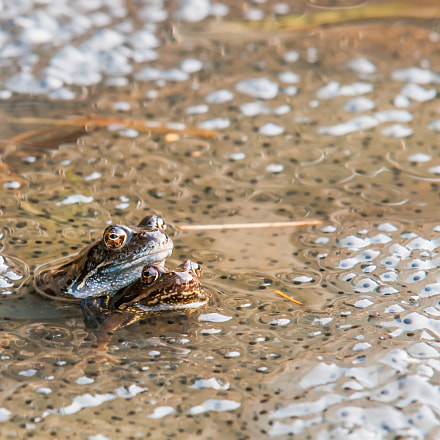 Mating Frogs Enclosed By, Pentax K-7, Sigma EX APO 100-300mm F4 IF