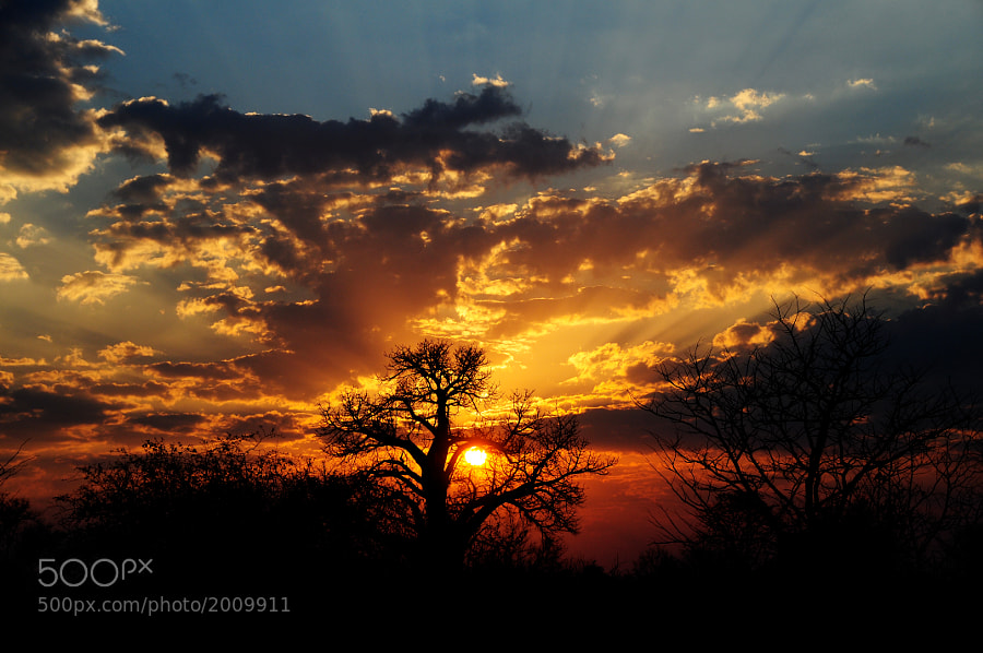 "A large Baobab tree ""catches"" the Zambian sun as it falls into the Zambezi River."