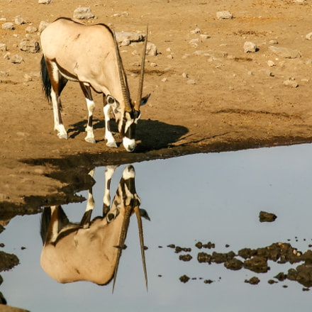 Drinking Gemsbok Oryx reflected, Pentax K100D, Sigma EX APO 100-300mm F4 IF