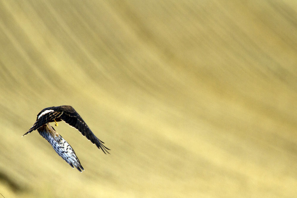 Photograph Takeoff of Montagu's harrier by Alain Balthazard on 500px