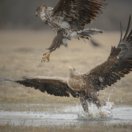 White-tailed splash, Canon EOS-1D X, Canon EF 200-400mm f/4L IS USM