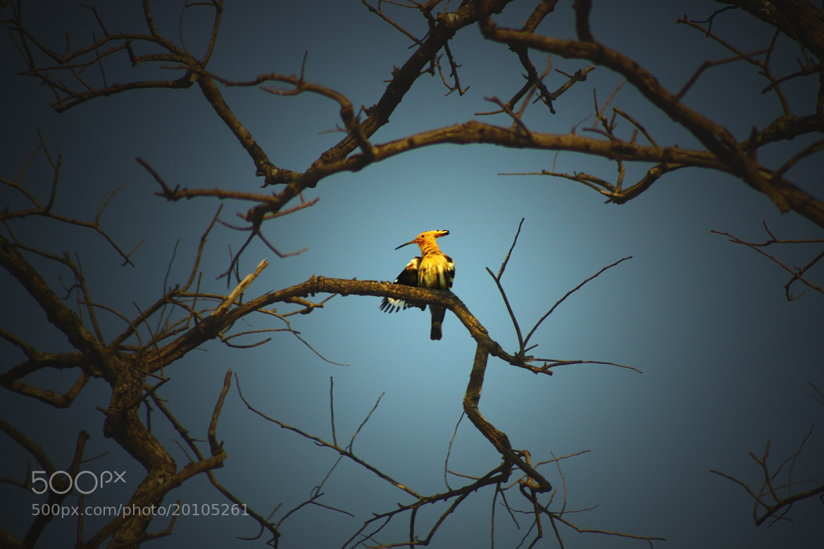 Photograph Hoopoe by Sudipta Mukhopadhyay on 500px