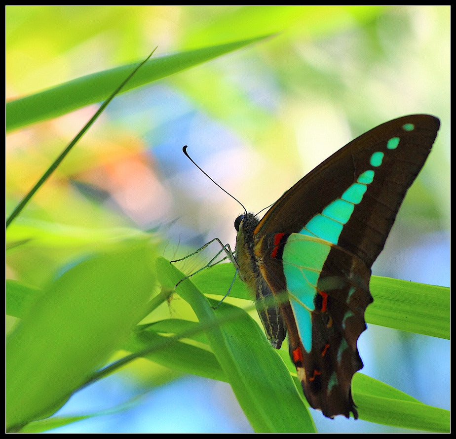 Photograph Blue Triangle Butterfly by Paul M on 500px