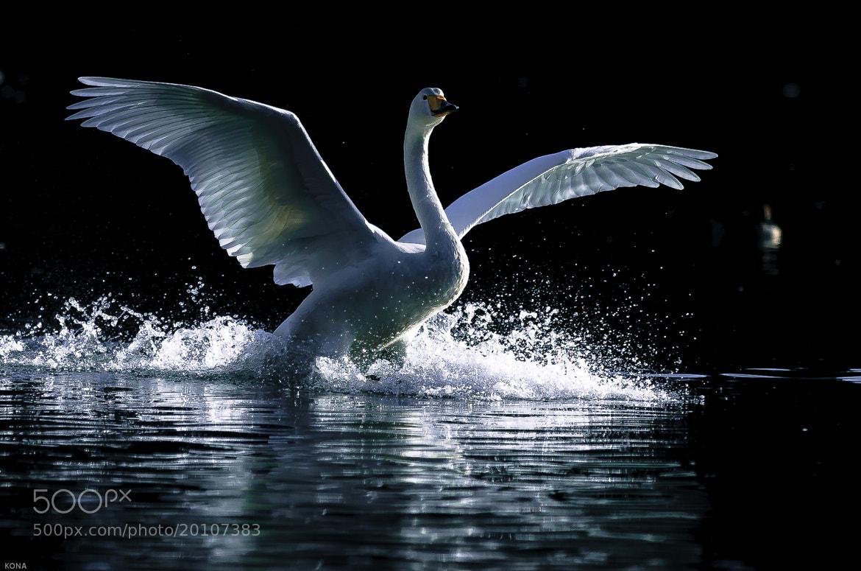 Photograph Large swan by Toru Kona on 500px