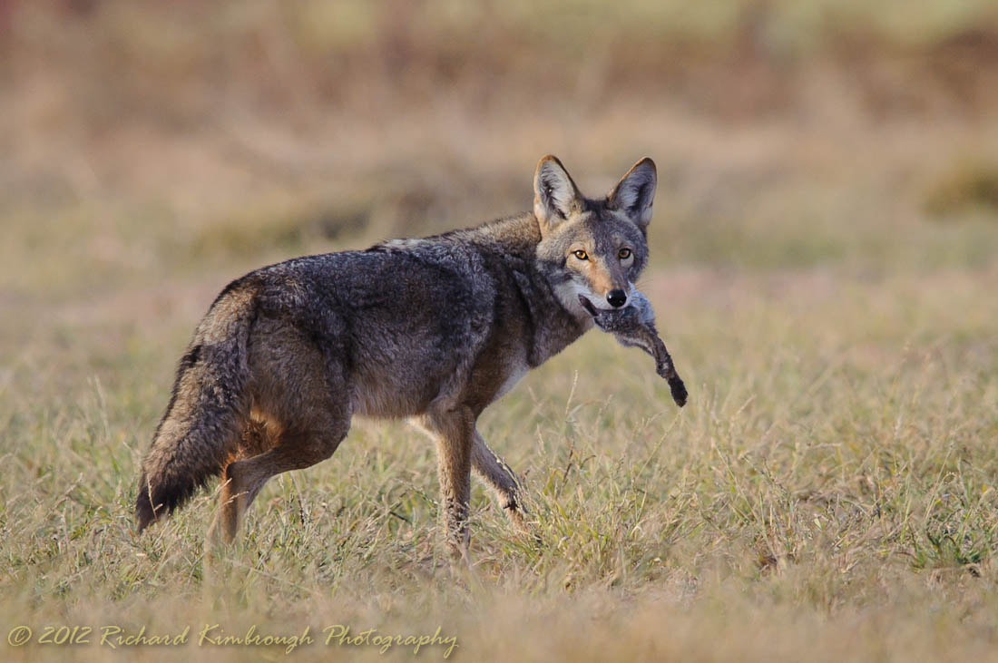 Photograph Half a Rabbit and a Coyote by Richard Kimbrough on 500px