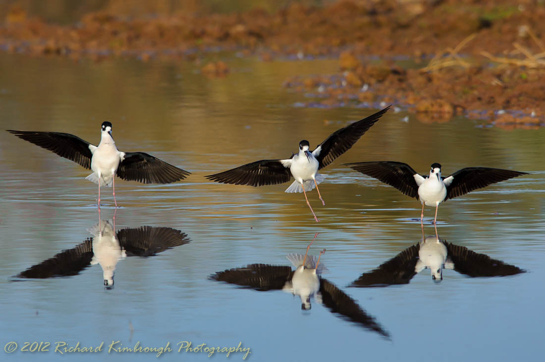 Photograph A Trio of Black-necked Stilts Come In For A Landing by Richard Kimbrough on 500px