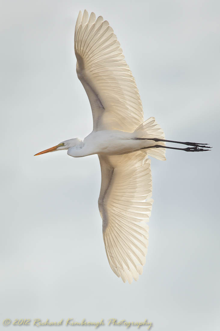 Photograph Great Egret Wings by Richard Kimbrough on 500px