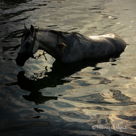 Horse in Water, Canon EOS 400D DIGITAL, Tamron AF 18-270mm f/3.5-6.3 Di II VC LD Aspherical [IF] Macro