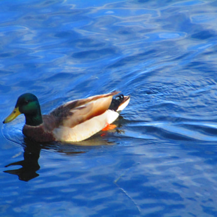 Mallard in Lake, Canon POWERSHOT ELPH 170 IS