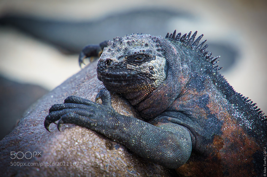 Photograph Marine Iguana by Alex Tsarfin on 500px