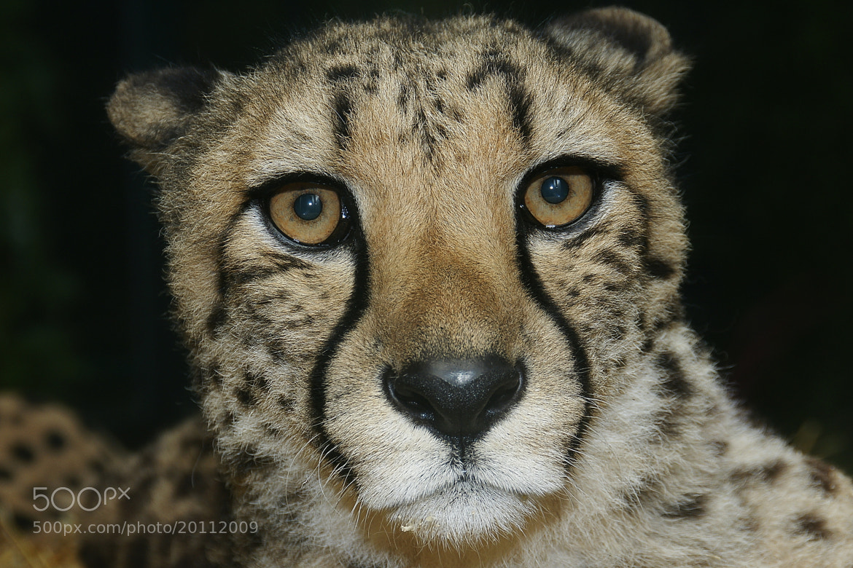 Photograph Cheetah by Branko Frelih on 500px