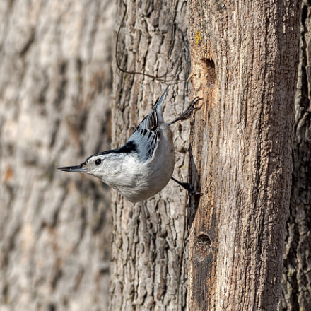 White_breasted Nuthatch, Nikon D810, AF-S Nikkor 500mm f/4D IF-ED II