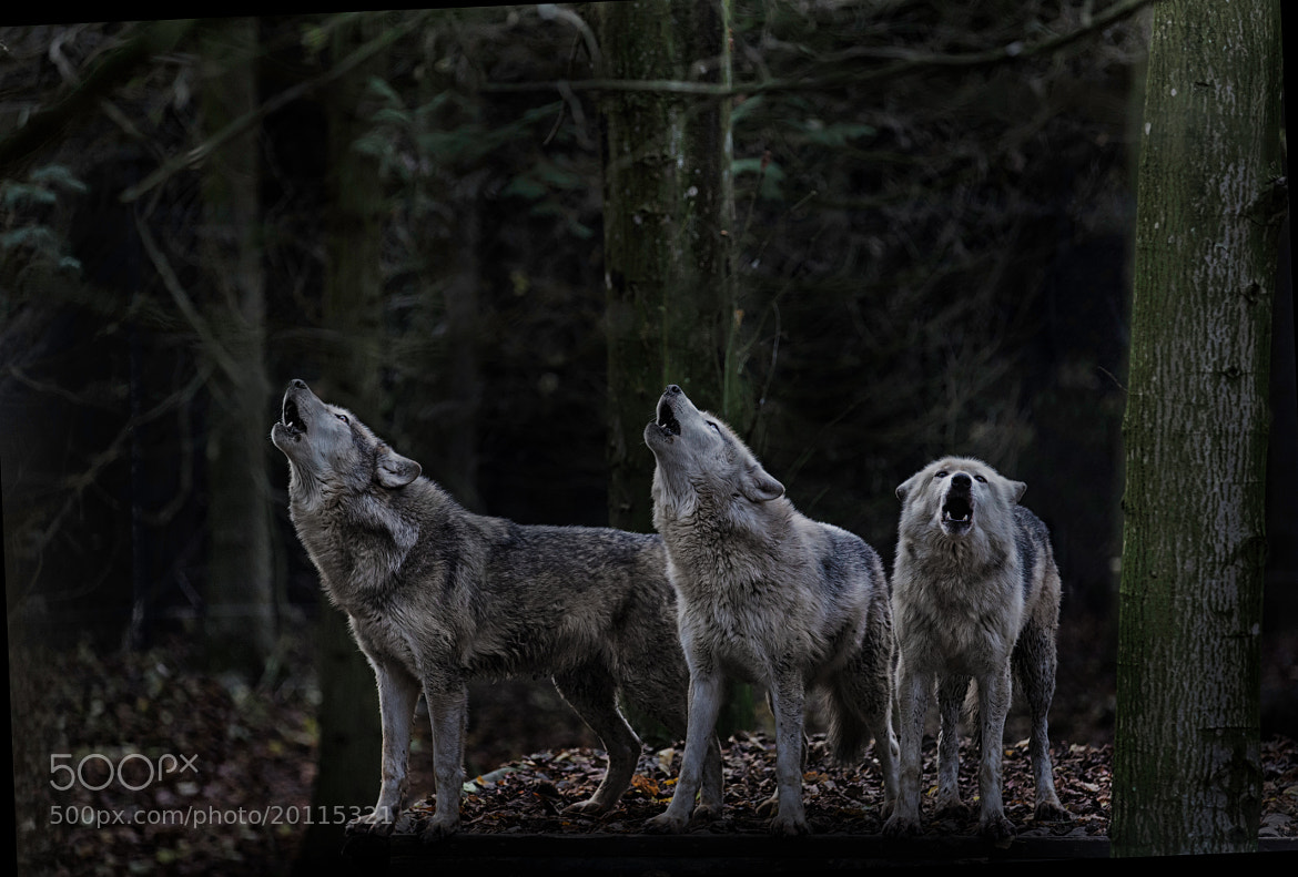 Photograph The Howling! by Sue Demetriou on 500px