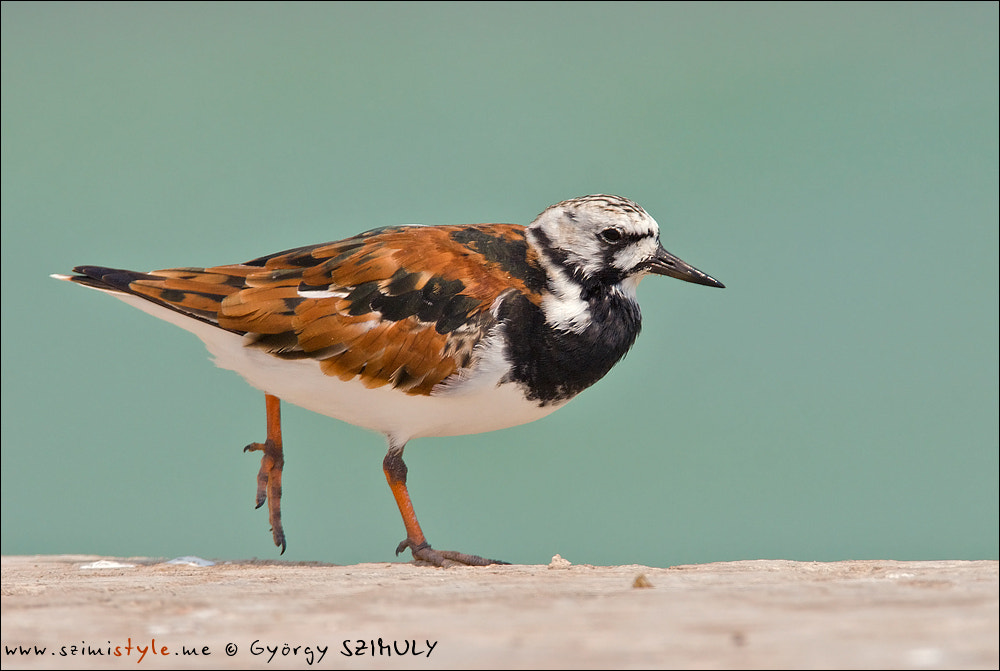 Photograph Ruddy Turnstone (Arenaria interpres) by Gyorgy Szimuly on 500px
