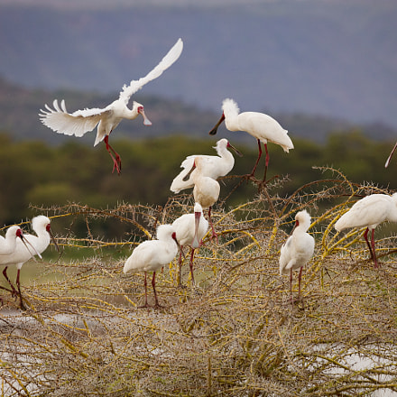 Spoonbills, Canon EOS 5DS R, Canon EF 200-400mm f/4L IS USM