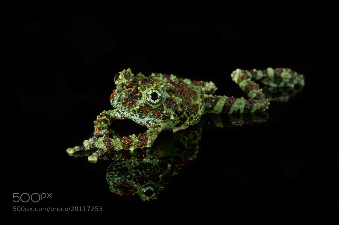 Photograph Vietnamese Mossy Frog by Val Saxby on 500px