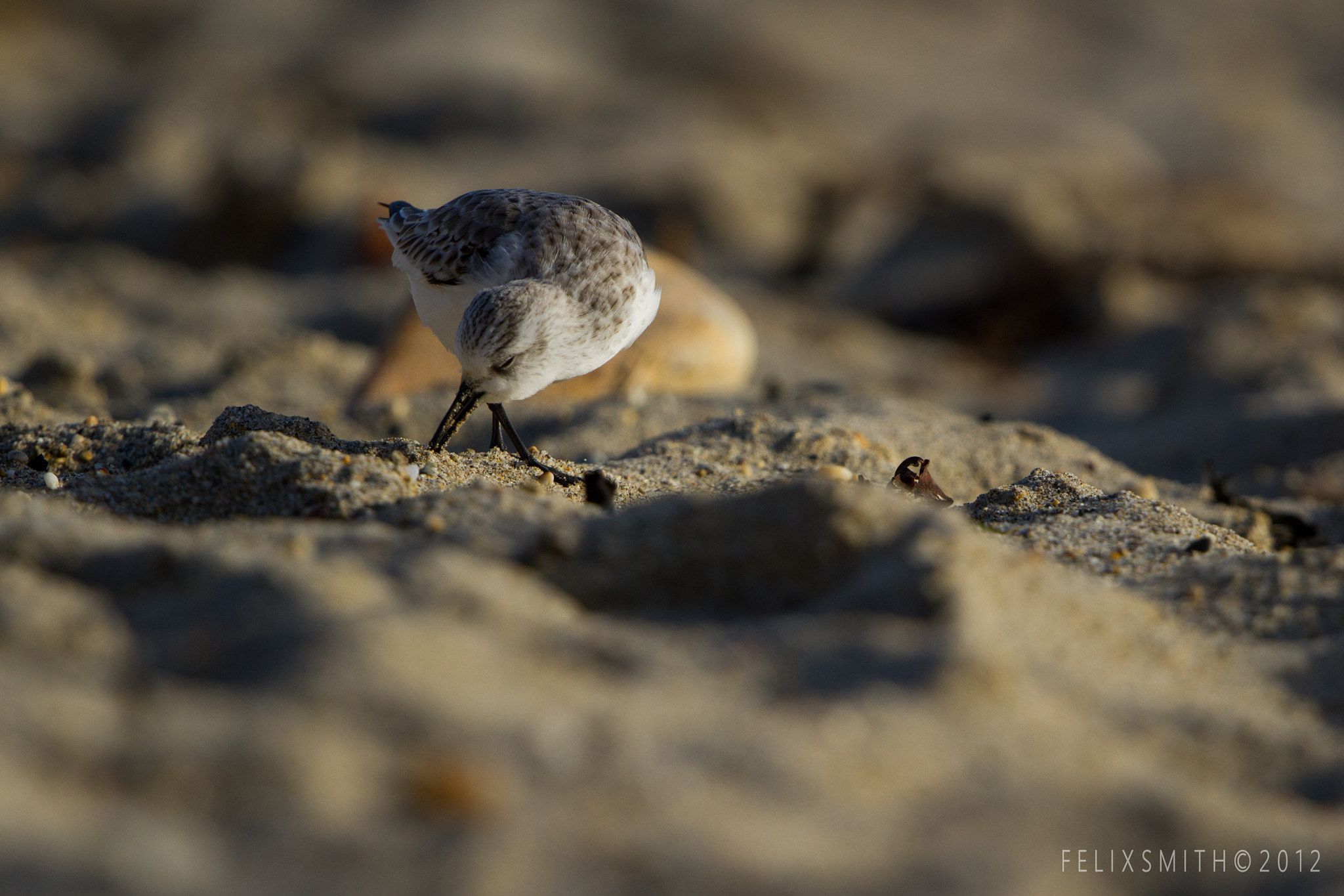 Photograph Sanderling Calidris alba by Felix Smith on 500px