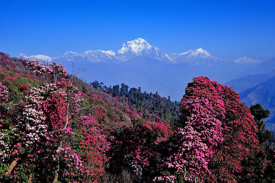 Mount Dhaulagiri by Susheel Shrestha on 500px.com