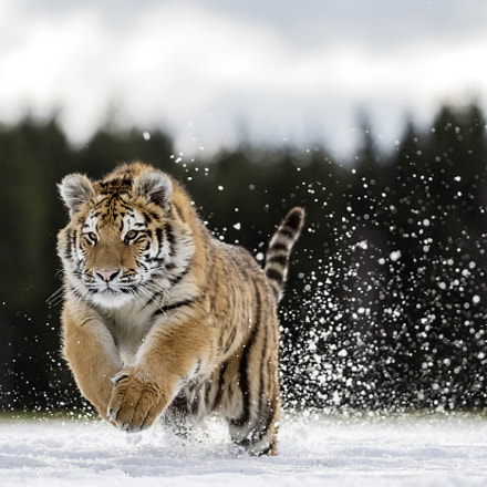 jumping tiger, Canon EOS 7D MARK II, Canon EF 200-400mm f/4L IS USM