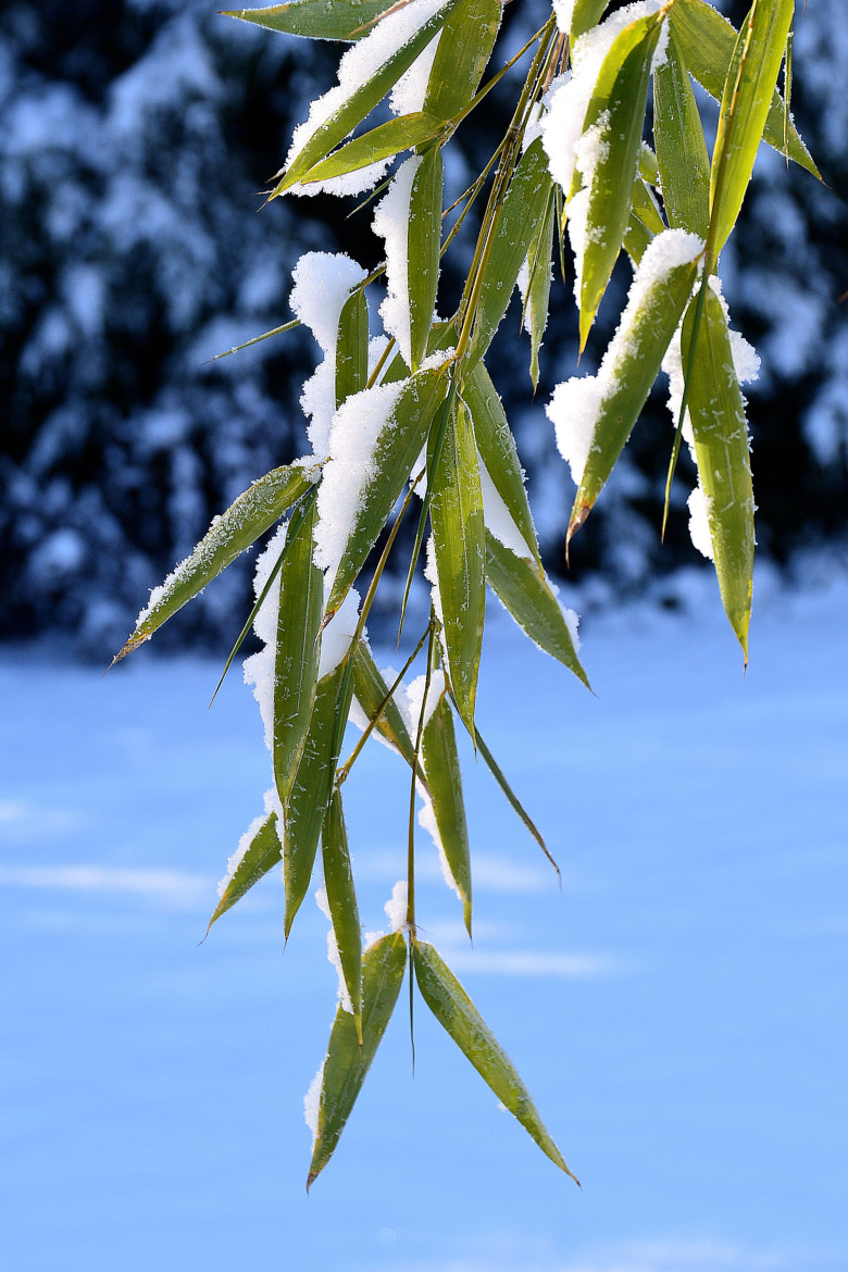 Photograph snowy Bamboo by Peter G. on 500px