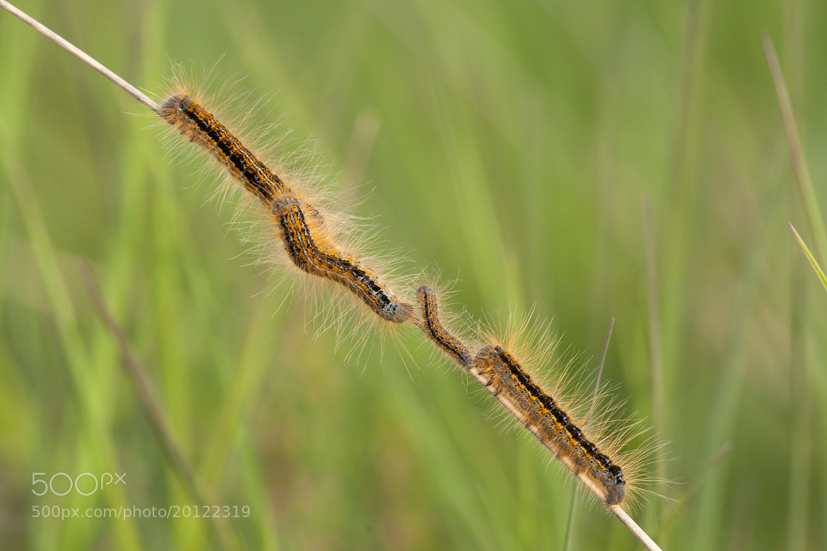 Photograph Malacosoma castrensis by Wiel Arets on 500px