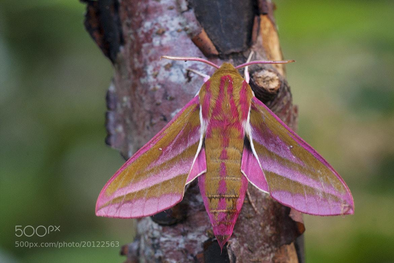 Photograph Deilephila elpenor by Wiel Arets on 500px
