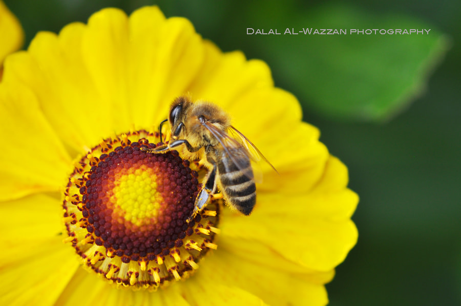 Photograph Bee  by Dalal_ALWazzan on 500px