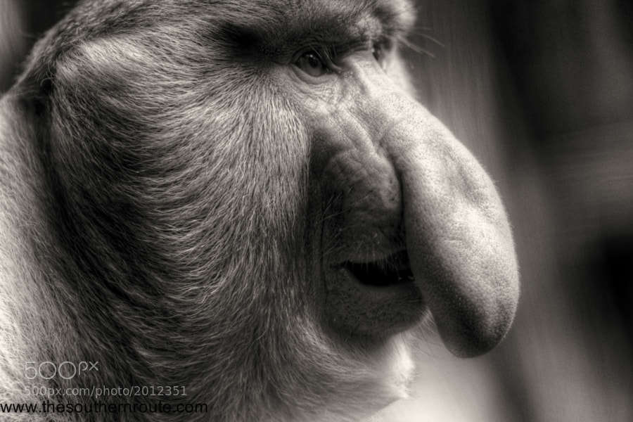 Photograph Cyrano de Borneo by regis boileau on 500px