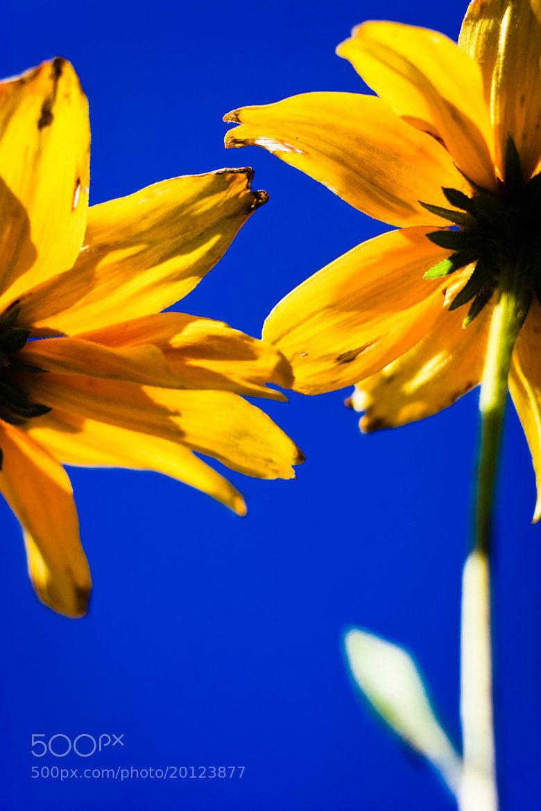 Photograph Heliopsis Helianthoides by Levente Dobos on 500px